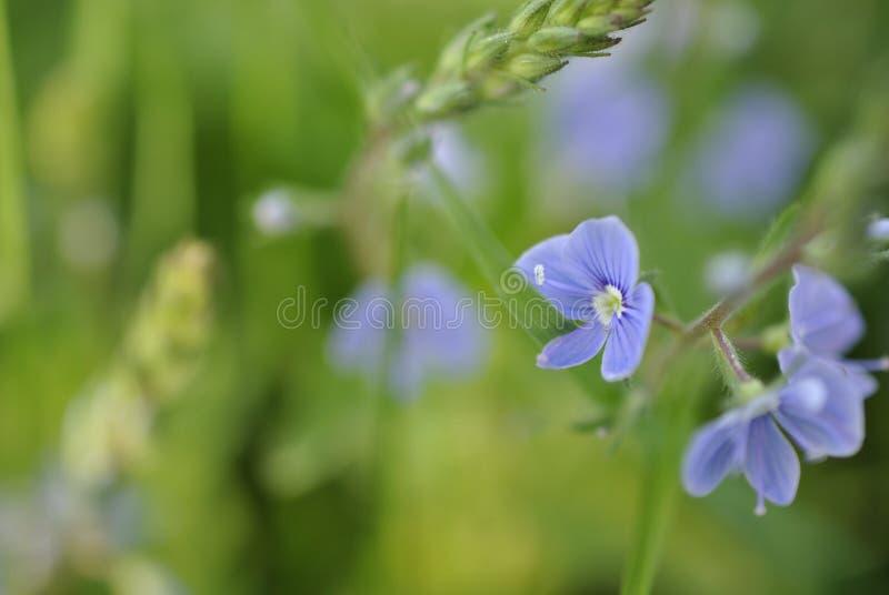 Små blåa vildblommor på en bakgrund av grönt gräs royaltyfri bild