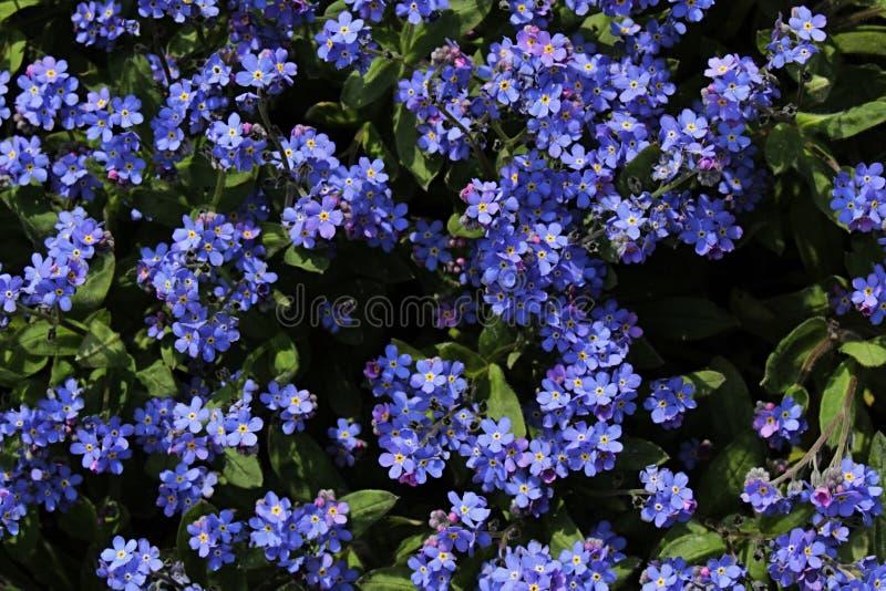 Små blåttträdgårdblommor av det Aubrieta släktet royaltyfri fotografi