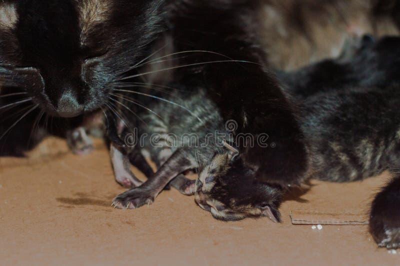 Små blinda nyfödda kattungar som sover i en kartong arkivfoton