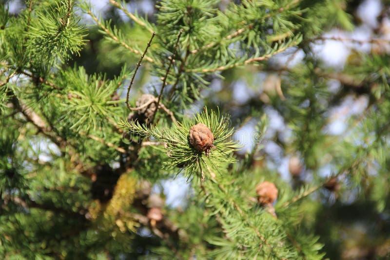 Små bruna bulor på den gröna prydliga filialen arkivfoto