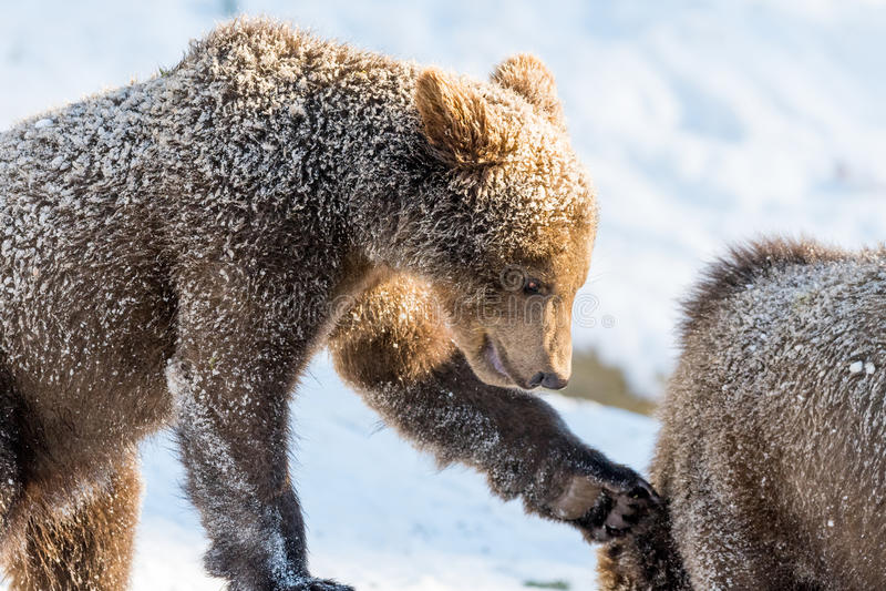 Små brunbjörnar som spelar och slåss i snö royaltyfri foto