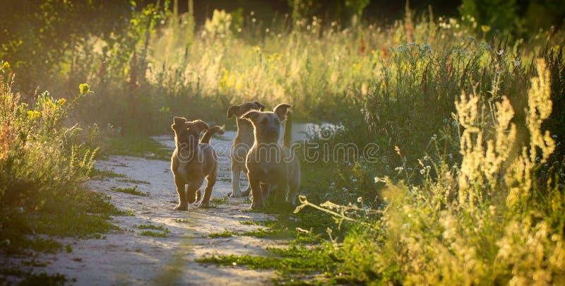 Små byrackavalpar spelar i en äng fotografering för bildbyråer