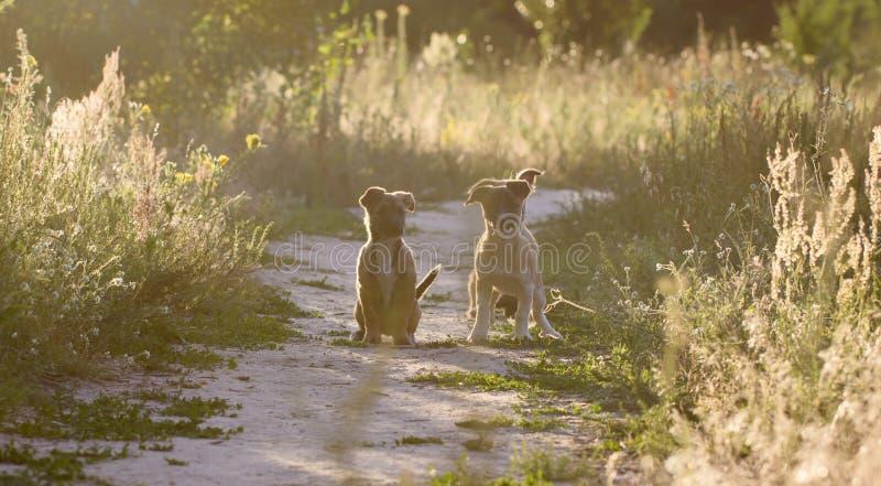 Små byrackavalpar spelar i en äng royaltyfri fotografi