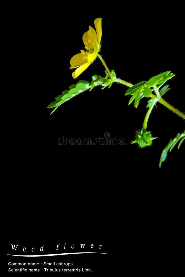 små caltrops ogräs, isolerad växt på svart bakgrund royaltyfri bild