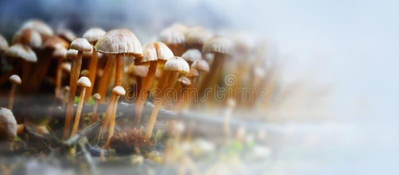 Små champinjoner i skogen med höst fördunklar, panoramaformat w arkivfoto
