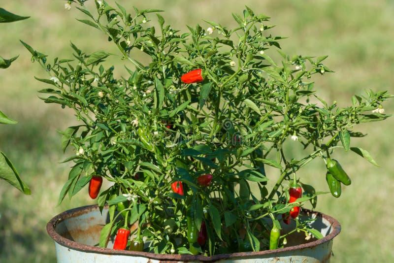 Små chilipeppar på en buske i blomkrukan i trädgården royaltyfria foton