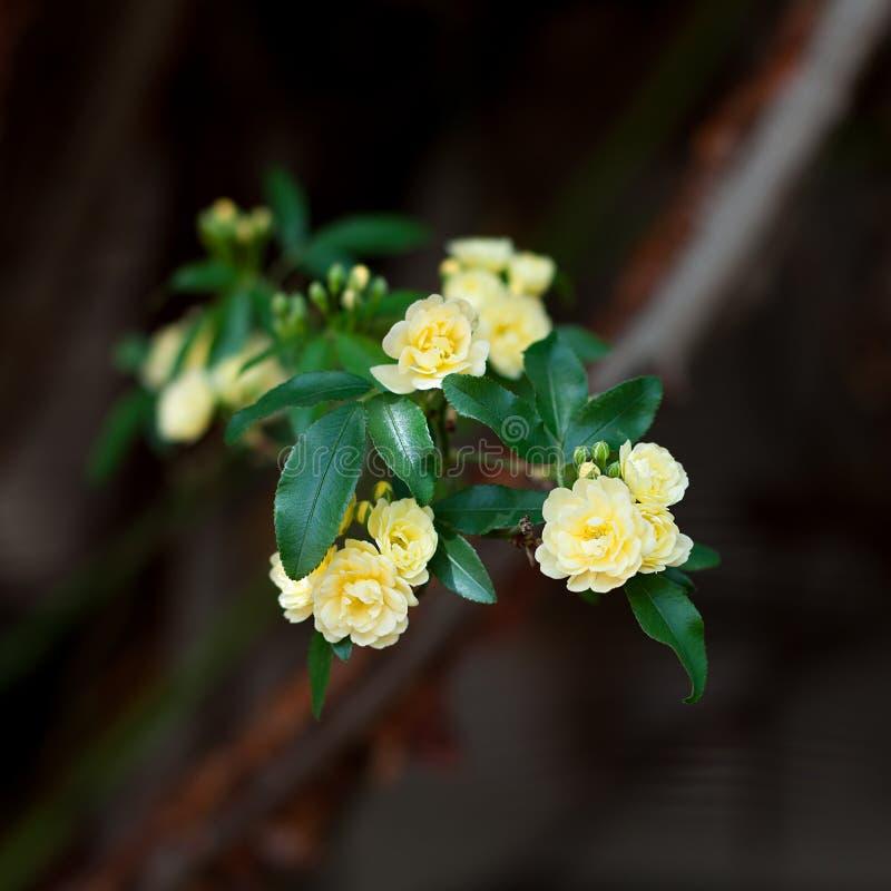 Små delikata blommor för gula rosor, Rosa banksiae eller dambankers rosa blomma som blommar i trädgård arkivfoto