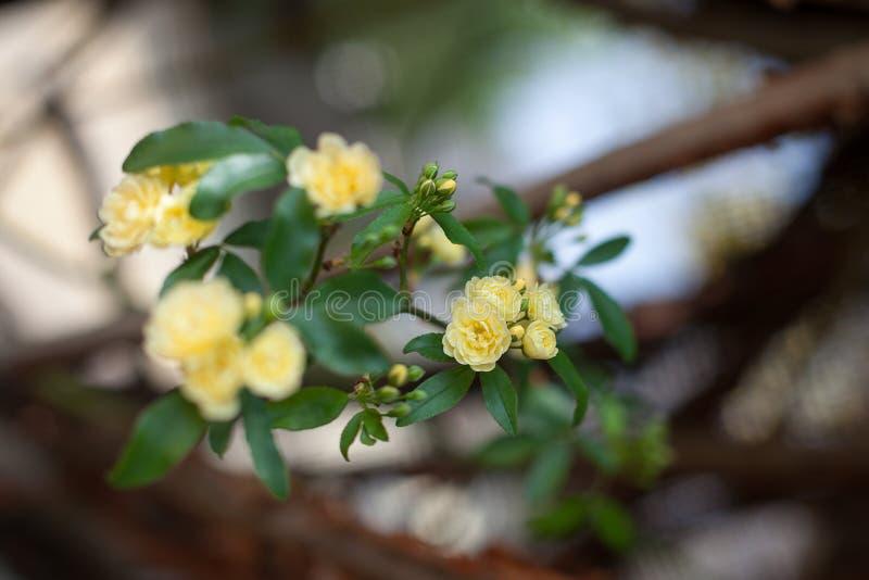 Små delikata blommor för gula rosor, Rosa banksiae eller dambankers rosa blomma som blommar i trädgård arkivbilder