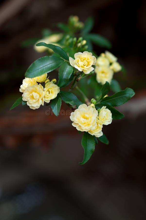 Små delikata blommor för gula rosor, Rosa banksiae eller dambankers rosa blomma som blommar i trädgård arkivbild