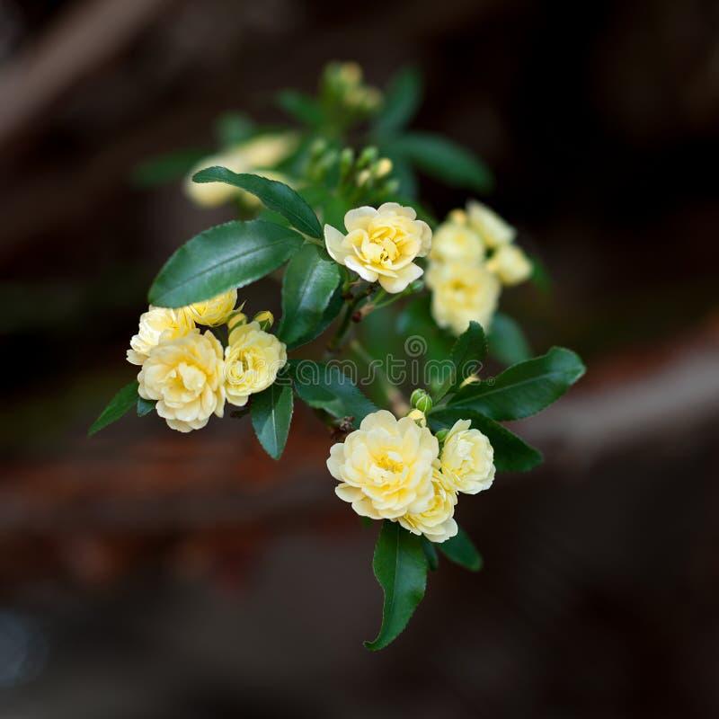 Små delikata blommor för gula rosor, Rosa banksiae eller dambankers rosa blomma som blommar i trädgård fotografering för bildbyråer