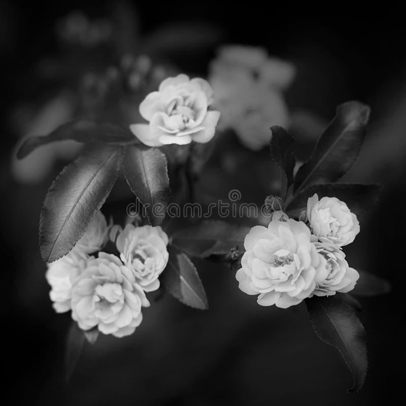 Små delikata rosblommor i svartvit färg, Rosa banksiae eller damen Banks steg blomman, suddigt bakgrundsmakroslut upp royaltyfri bild