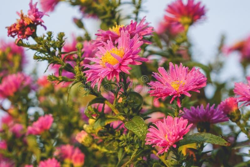 Små droppar på rosa blommor arkivbild