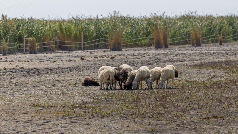 Små får flockas nära den österrikiska byrosten i en naturreserv royaltyfria foton