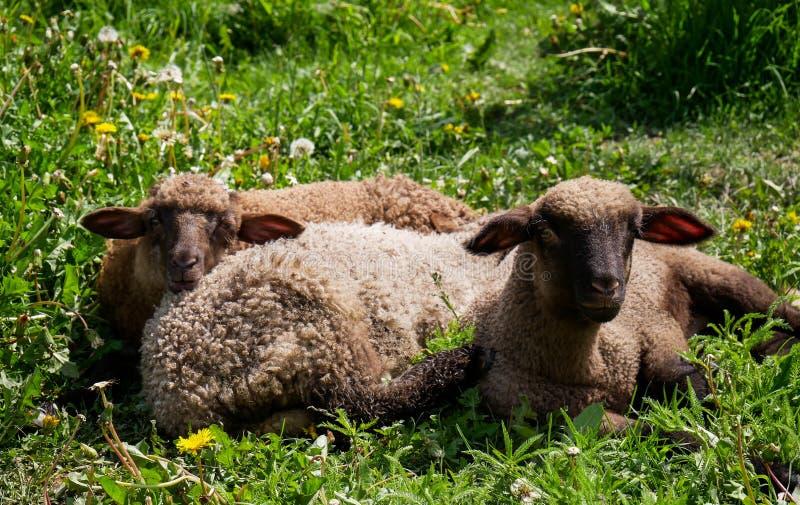 Små små fårlamm som vilar på det enorma gräset royaltyfri bild