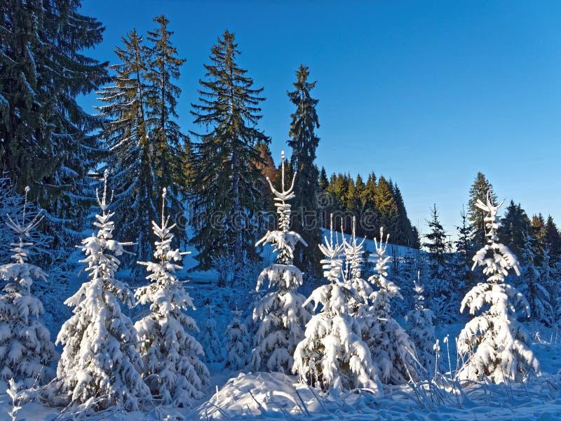 Små fir-träd med rikligt snötäckt ljus under vintersolsken royaltyfria bilder