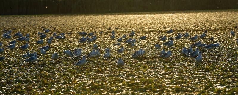 Små fiskmåsar på Donaudeltasolnedgång arkivbilder