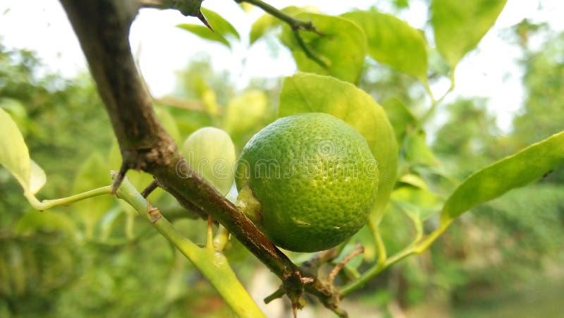 små foods för citron royaltyfri foto