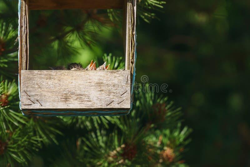 Små gemensamma trastfågelungar med öppna munnar som sitter i en redeinsida och en gammal trähandgjord matningsho som hänger från  royaltyfria foton