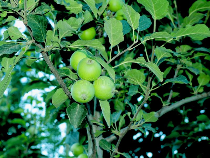 Små gröna äpplen i Kashmir Valley Indien royaltyfria foton