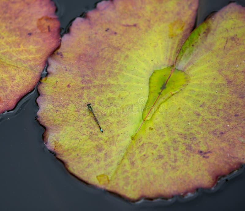 Små gröna, bruna och blåa östliga forktaildamselflyIschnura verticalis vilar på ett näckrosblad Nymphaeain royaltyfria foton