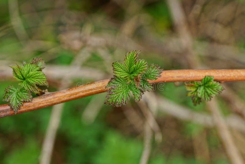 Små gröna sidor på ett tunt hallon förgrena sig royaltyfri bild