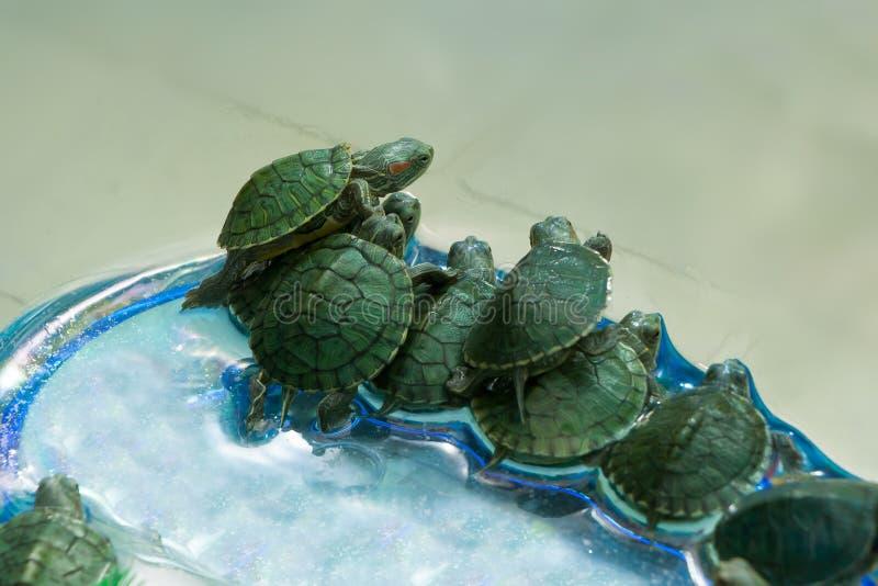 Små gröna sköldpaddor i en skyttel arkivfoton