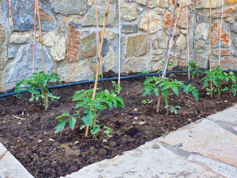 Små gröna tomatväxter som växer i hem- trädgård arkivbild