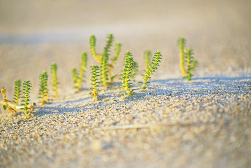 Små gröna växter som växer på sanden arkivbild
