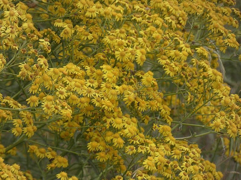 Små gula blommor i vår royaltyfria foton
