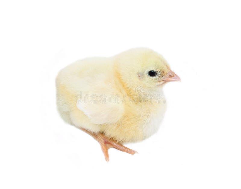 Små gula fågelungar för gröngölingar arkivfoto