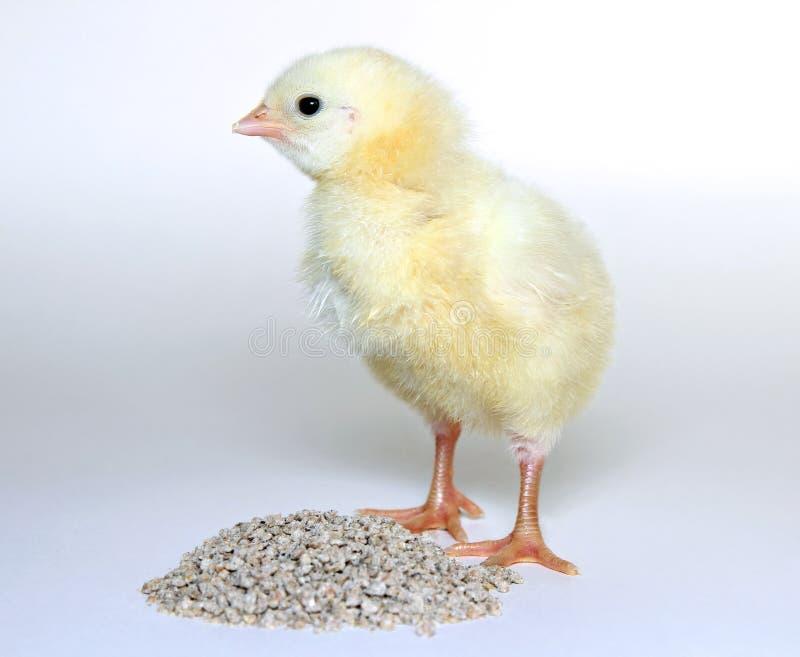 Små gula fågelungar för gröngölingar arkivfoton