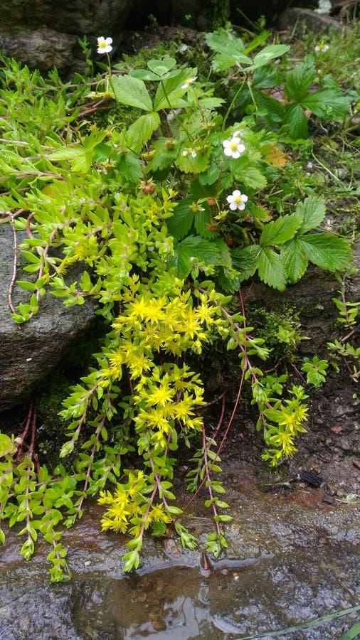 Små gula flödande bergblommor royaltyfri fotografi
