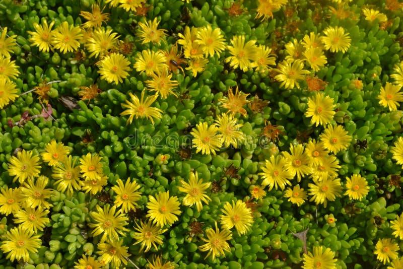 Små gula solrosor royaltyfri bild