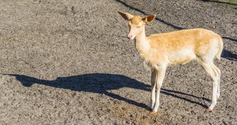 Små gulliga små hjortar som ser in mot kamera på den djura lantgården royaltyfri bild