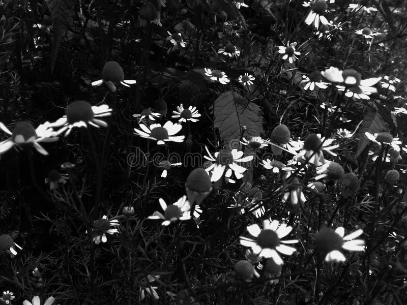 Små härliga blommor av fälttusenskönor Delikata ljusa vita kronblad Svartvit tusensk?na Svart gräs lämnar i blomsterrabatt arkivbilder