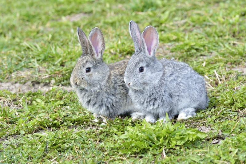 Små kaniner som utomhus sitter fotografering för bildbyråer
