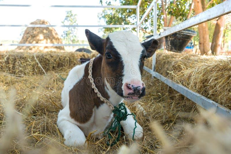 Små ko eller mejerikor i lantgård fotografering för bildbyråer