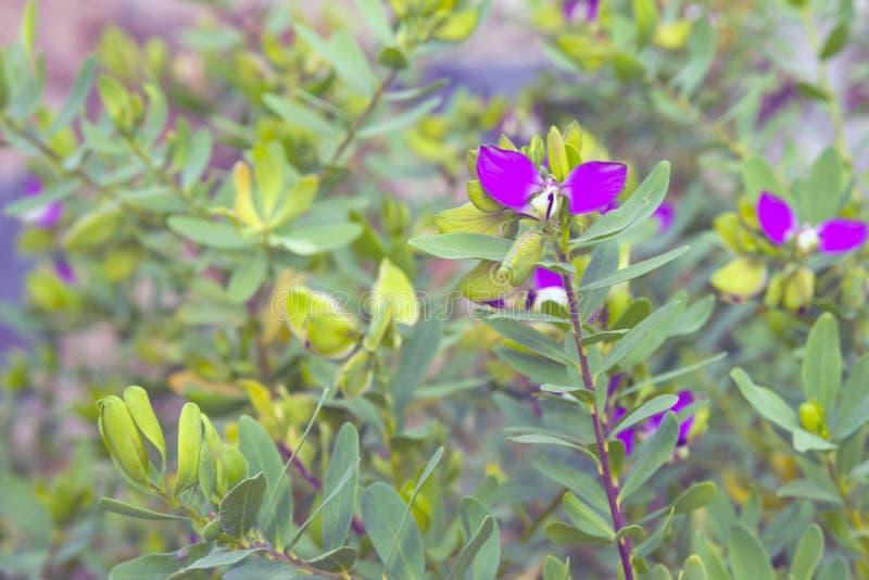 Små lila blommor med två kronblad på bakgrunden av sidor royaltyfri bild