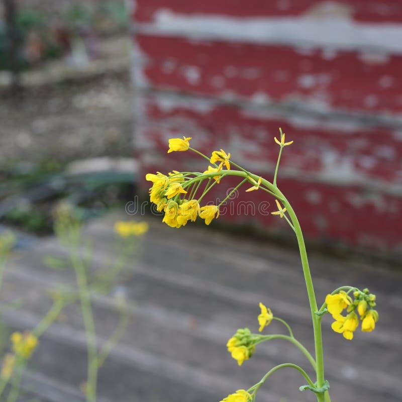 Små ljusa gula blommor med den red ut röda väggen i bakgrunden royaltyfria foton