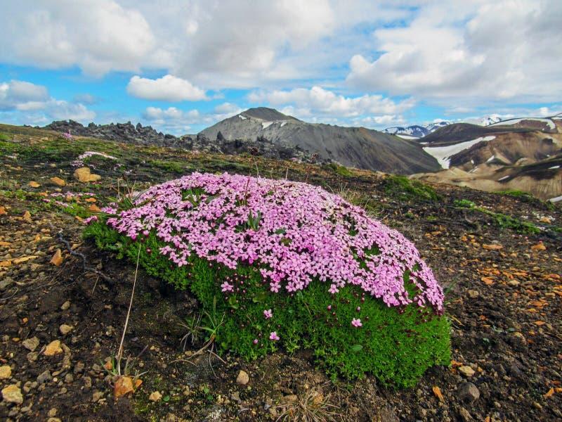 Små mycket små rosa blommor som blommar mossa i Landmannalaugar, Fjallabak naturreserv, Skotska högländerna av Island arkivbilder