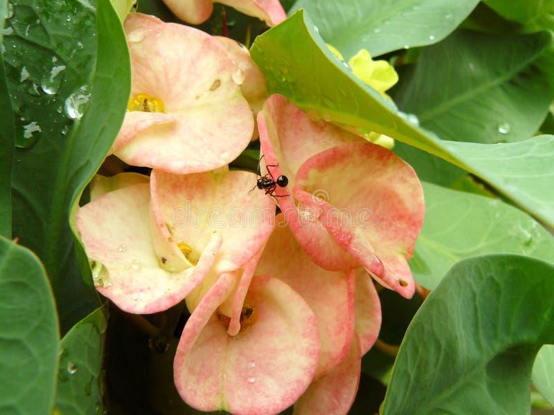 Små myradricksvattendroppar på Kristustaggen blommar arkivbild