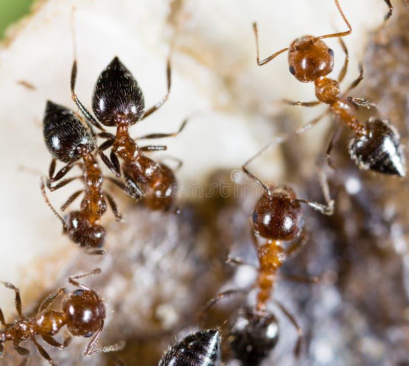Små myror i natur Makro royaltyfri foto