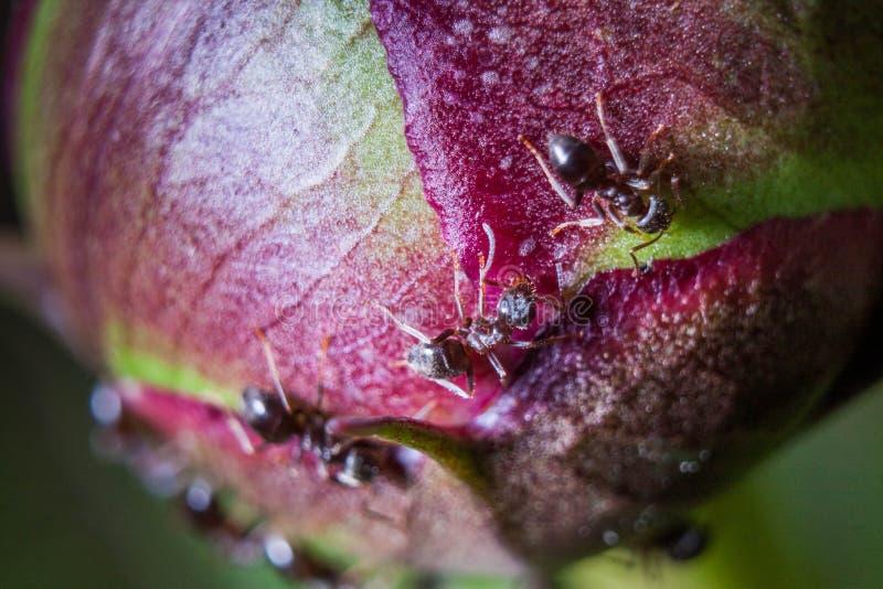 Små myror som kryper på en pionknopp arkivbild