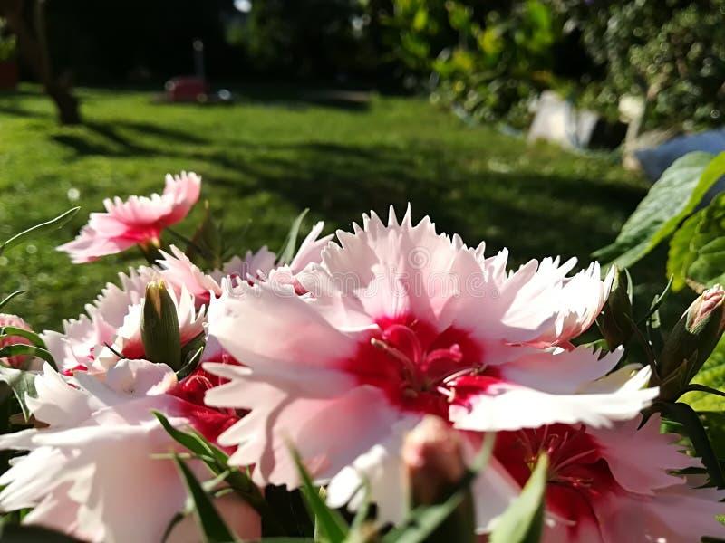 Små och söta rosa blommor arkivfoto