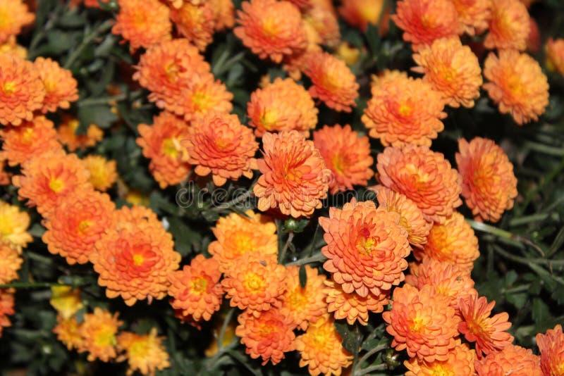 Små orange skönheter royaltyfria foton