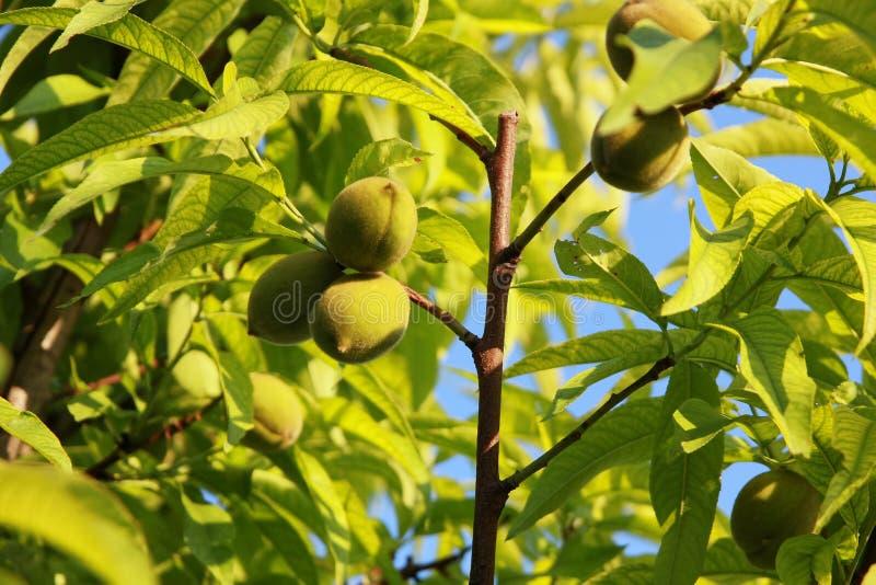 Små persikor royaltyfria bilder