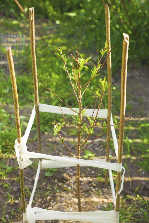 Sm? plantor f?r persikatr?d med ett staket royaltyfri foto