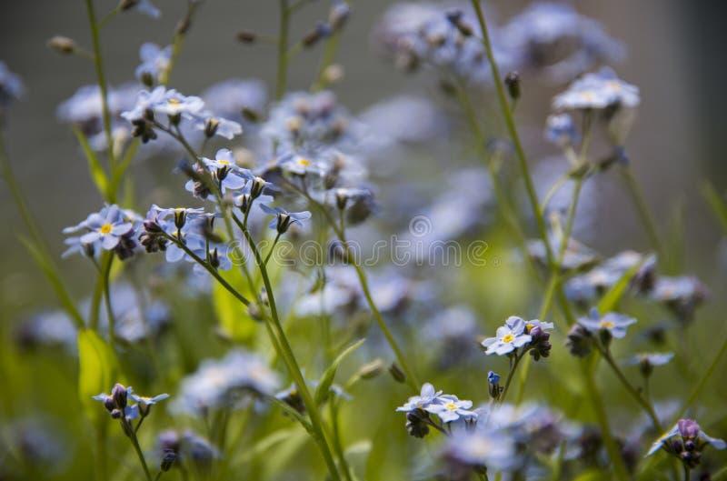 Små purpurfärgade blommor som slår ut i en äng arkivbilder