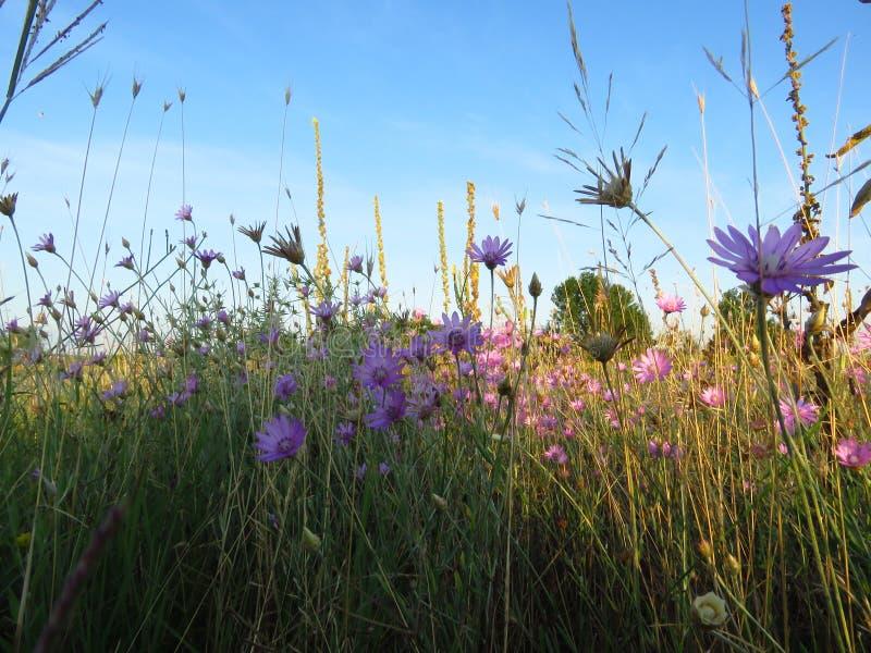 Små purpurfärgade rosa ängblommor mot blå himmel Passande f?r blom- bakgrund Lös sommarblommatapet royaltyfria foton