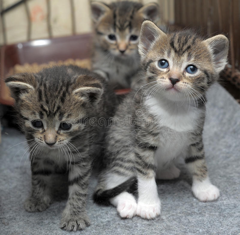 Små randiga kattungar fotografering för bildbyråer